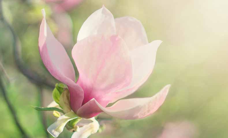 動詞でのblossom、bloom、flowerの使い方の違い