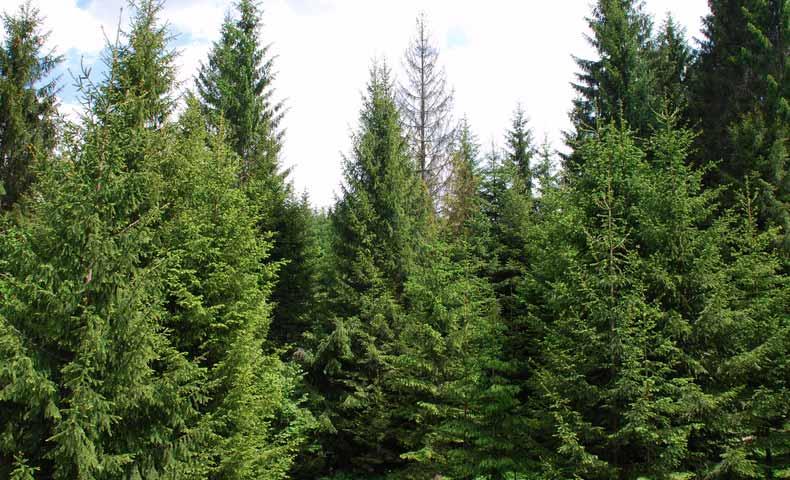 spruce(トウヒ)